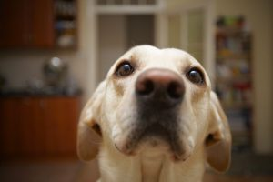 Dog Diapers Or Dry Powder To Remove Dog Urine