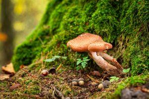 where psilocybin mushroom spores grow nature